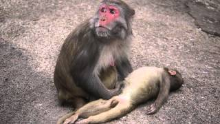 getlinkyoutube.com-A Mother Monkey and her Dead baby