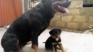 getlinkyoutube.com-Rottweiler: Puppy wants to play with his parents (Bison)