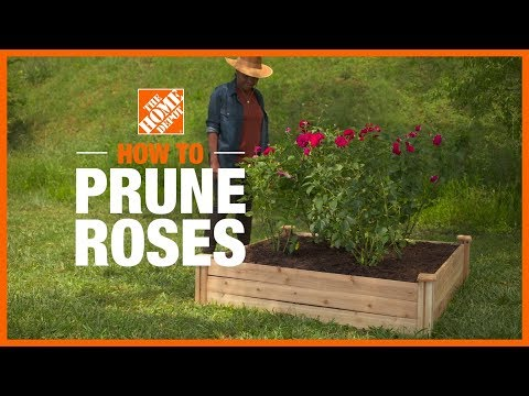 A video about how to prune roses.