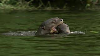 Otter Family Kills Caiman | BBC Earth width=