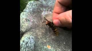 Hoornaar niet gevaarlijk