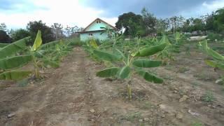 getlinkyoutube.com-ชมสวนกล้วยน้ำว้า