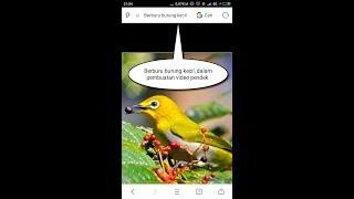 Berburu burung kecil di tepi sawah  dgn Mp3 pikat burung kecil
