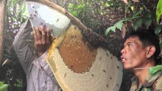 getlinkyoutube.com-Harvesting Honey from Giant Honeybees in Cambodia