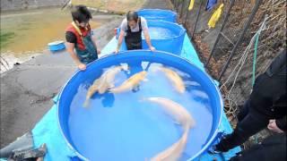 getlinkyoutube.com-Konishi Koi Farm - Yamaguchi Super Jumbo Karashigoi Ikeage 2014