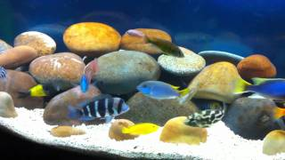 getlinkyoutube.com-AFRA AND TROPHEUS Territorial Battle African Cichlids in 72 Gallon Bowfront Aquarium