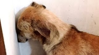 getlinkyoutube.com-Abused Dog Stares at Wall for Days After Being Rescued