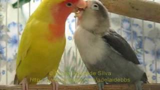 getlinkyoutube.com-Agapornis: Cinzinha fazendo ninho - Cinzinha building a nest