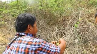 getlinkyoutube.com-นกจาบคาหัวเขียว Blue-tailed bee-eater