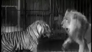 getlinkyoutube.com-Tiger vs Lion - Ultimate Killer Vs The Ultimate Warrior