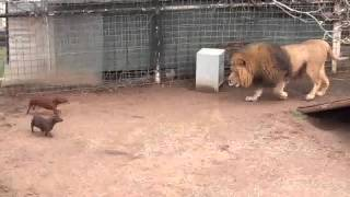 getlinkyoutube.com-León juega con su manada de perros
