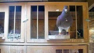 getlinkyoutube.com-pigeon voyageur  de ouadii