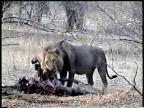 Lion In An Epic Battle With Hyena For Eland On Zim Safari