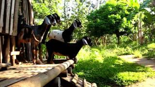 getlinkyoutube.com-Sagana Farm Nubians - Morning Exercise