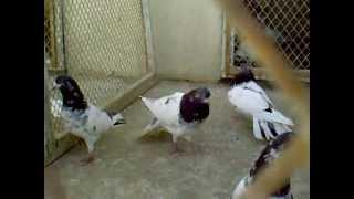getlinkyoutube.com-Pakistani high -flying pigeons (malai walay No.1)