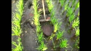 getlinkyoutube.com-เครื่องตัดหญ้าในร่องนาดำ
