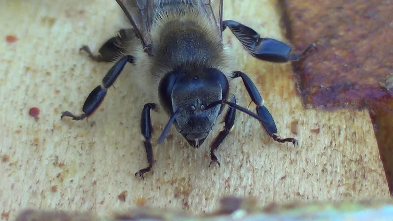 Besposlena pčela