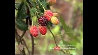 getlinkyoutube.com-Mulberry farming in Kanthalloor | Money Time 30 April 2015