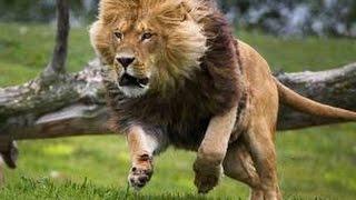 getlinkyoutube.com-Lions The Best Killers in the World - Nat Geo Documentary - Part2