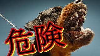 getlinkyoutube.com-【衝撃】世界で最も危険な犬種 Top10/最凶の閲覧注意