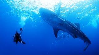 getlinkyoutube.com-The Whale Sharks of Oslob