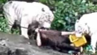 White Tiger Attacks Zookeeper