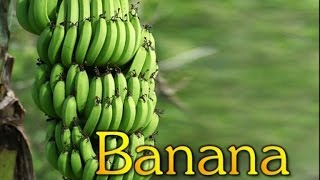 getlinkyoutube.com-Commercial Cultivation of Banana