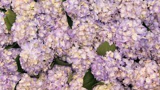 getlinkyoutube.com-Hydrangea Flower Wall