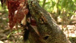 getlinkyoutube.com-Komodo Dragons Attack! - Deadly 60 - Indonesia - Series 3 - BBC