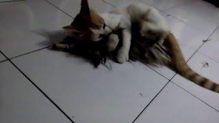 Si Unyil (kucing) Kawin Ama Kemoceng