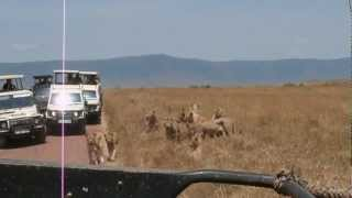 getlinkyoutube.com-Lions attack car in Ngorongoro