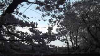 getlinkyoutube.com-満開の二ヶ領用水の桜と船島鉄橋を渡る南武線