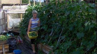 getlinkyoutube.com-Делаем огород, 7 часть.156 кг огурцов!!!Огурцы на вертикальной опоре.Garden.