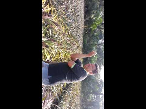 Phineapple farm  tour to parit sulong agro-tourism(1)