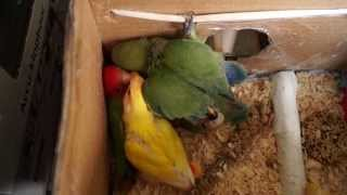Lovebird Chicks Trying to Escape Nestbox