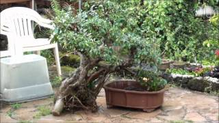 getlinkyoutube.com-A BANYAN'S NEW BEGINNING TO A BONSAI TREE III