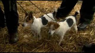 Jack Russels Hunting Rats