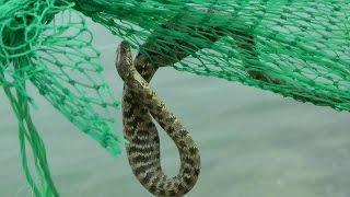 Опасная змея. Змея съела нашу рыбу в раколовке.