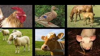 getlinkyoutube.com-Farm Animal Sounds - An Interactive Game for Kids