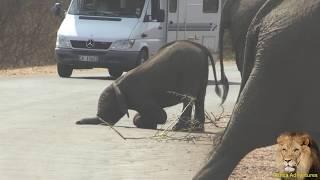 getlinkyoutube.com-Randy Teenage Elephant Throws A Tantrum