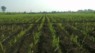 getlinkyoutube.com-SUGARCANE FARMING IMAGE VIDEO