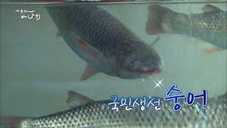 [어영차바다야]백가지 물고기 중에서도 으뜸! 수어(숭어)를 아시나요?