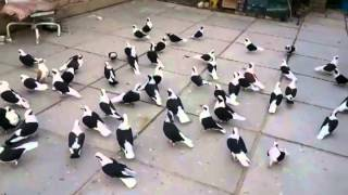 getlinkyoutube.com-طيور بسود مفرودة