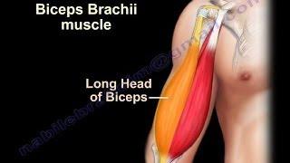 getlinkyoutube.com-Biceps Brachii Anatomy - Everything You Need To Know - Dr. Nabil Ebraheim