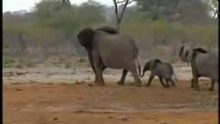 getlinkyoutube.com-أسود تفترس فيلا ضخما- جرأة تصوير لمشهد رائع.flv