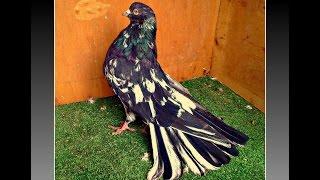 getlinkyoutube.com-Николаевские голуби. тренировка в сильный ветер