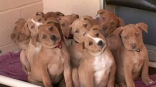 getlinkyoutube.com-Cute Pit Bull Terrier Puppies