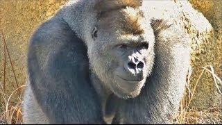 getlinkyoutube.com-【大激怒】 ゴリラのケンカ part1 (オスが激怒する様子) / 東山動物園 【お父さんは怖い存在のようです】