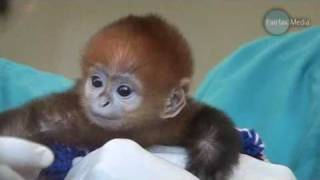 getlinkyoutube.com-Baby Monkey Francois Langur