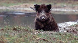 getlinkyoutube.com-Wildschweine beim Maishäckseln Polowanie, Sauen im Mais
